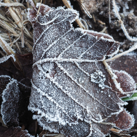 iciness: closeup of a frozen leaf with ice crystals