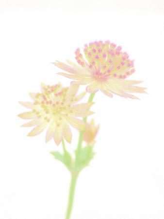 unobtrusive: Pastel blossom of a flower, soft focus Stock Photo