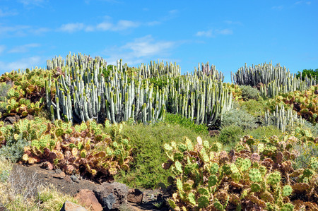 Typical landscape of Tenerife, Canary Islands; Landscape with succulents at Tenerife, Canary Islands, Spain