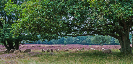 Landscape in the Netherlands: Heathland with trees and sheeps Stock Photo