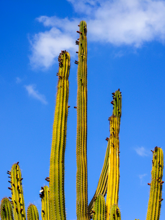 Closeup of a culumnar cactus isolated on blue sky