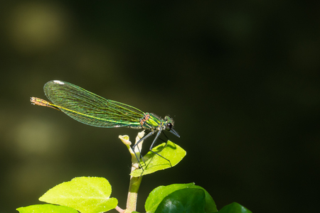 landscape format: Closeup of a bended demoiselle, Calopterix donation Stock Photo