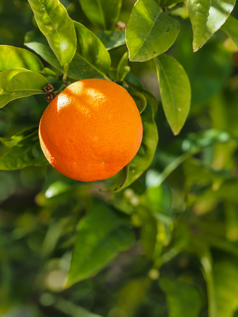 Closeup of the fruit of an orange hanging on the tree Stock Photo
