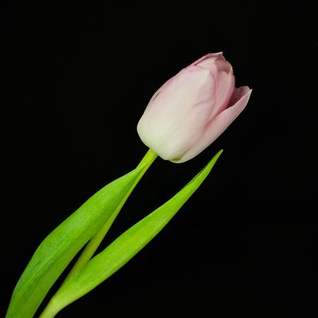 quadratic: Pink tulip  isolated on black background