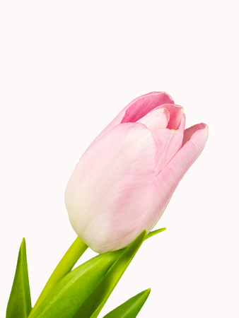 Closeup of the pink blossom of tulip isolated on white background