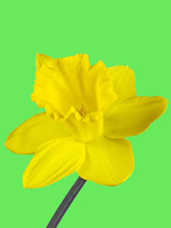 Closeup of the yellow blossom of a daffodil isolated on green background Stock Photo