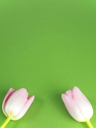 Vernal background of green cardboard with two pink blossoms of tulips at the edge