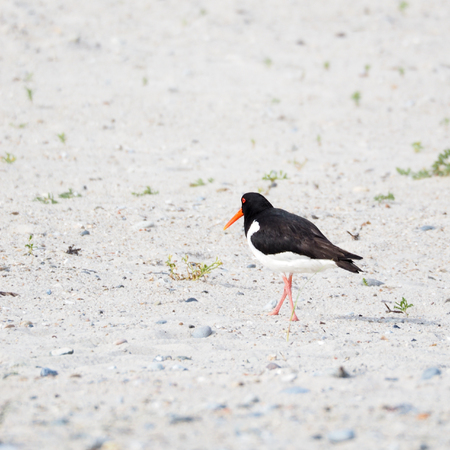 Rear view of an oystercatcher, Haematopus ostralegus, at the beach of the island Heligoland