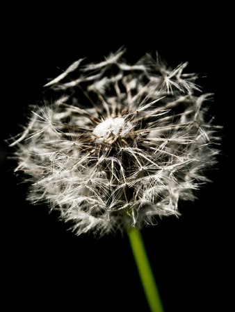 Withered blossom of dandelion, Taraxacum, isolated on black background