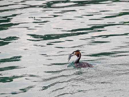 Close-up of a great crested grebe with fish in the beak