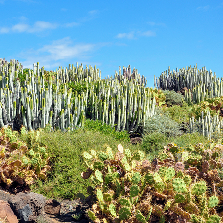 Landscape with succulents at Tenerife, Canary Islands, Spain 版權商用圖片