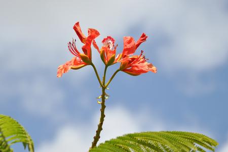 close-up of the orange blossom of a flame tree, delonix regia 免版税图像