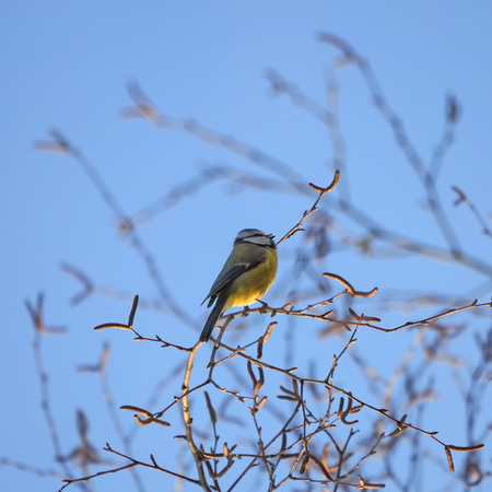 Blue tit sitting in the braches of a bush Stock Photo