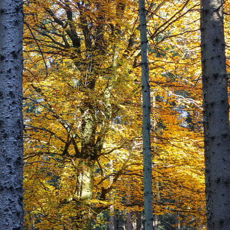 Foliage of a beech tree in the forest of the Harz mountains Standard-Bild - 115629137