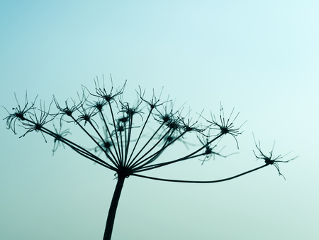 Silhouette of the faded blossom of a wild carrot at sunset