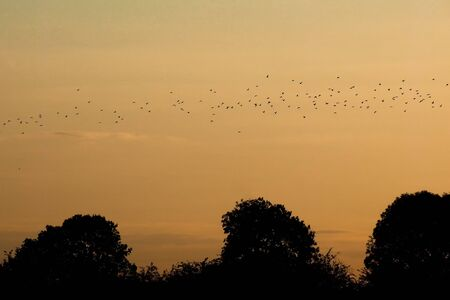 Flock of birds flying above the silhouettes of trees at sunset in Lower Saxony Stok Fotoğraf
