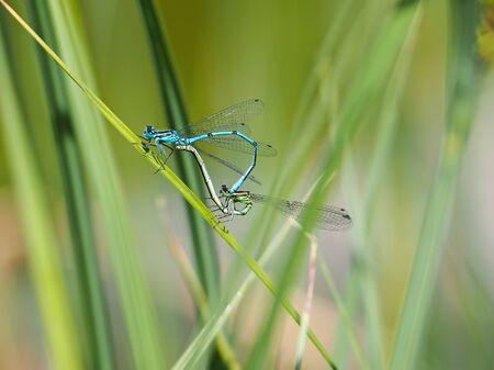 Two dragonflies, Coenagrion puella, in copulatory wheel
