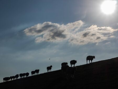Silhouettes of sheep on a dyke at back light