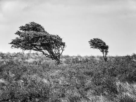 Two hawthorne bushes in the dunes of district Waterleidingduinen near to the cities Zandvoort and Amsterdam in the Netherlands, monochrome