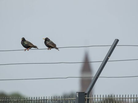 Two starlings are sitting on the wire of a fence in Zandvoort, Netherlands