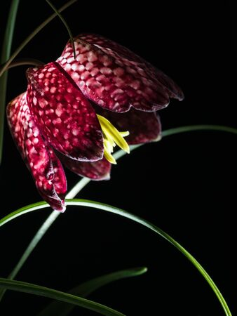 Close-up of the blossom of a snake's head flower isolated on black