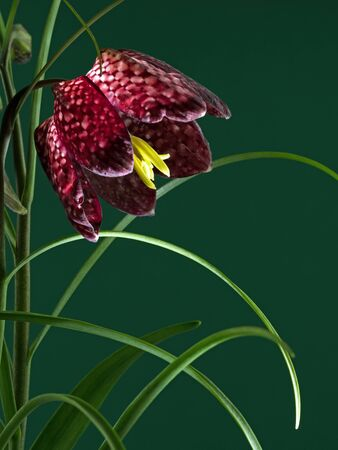 Close-up of the blossom of a snake's head flower isolated on green Standard-Bild
