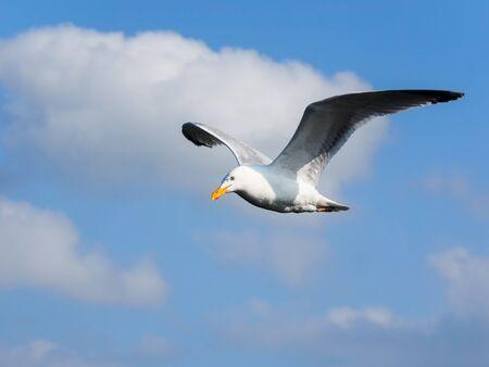 One flying herring gull isolated on blue sky