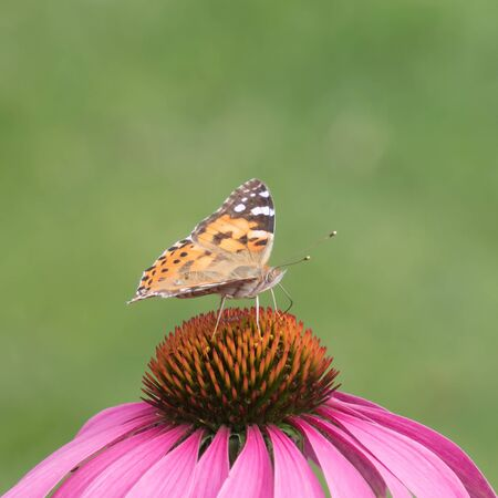 close-up of a painted lady (Vanessa cardui) on the blossom of a coneflower
