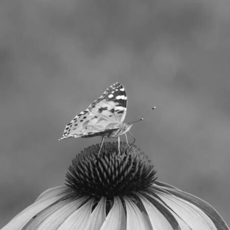 close-up of a painted lady (Vanessa cardui) on the blossom of a coneflower, monochrome image Standard-Bild