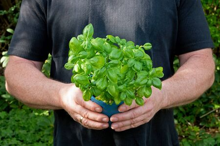 Two masculine hands are holding a pot with basil Standard-Bild