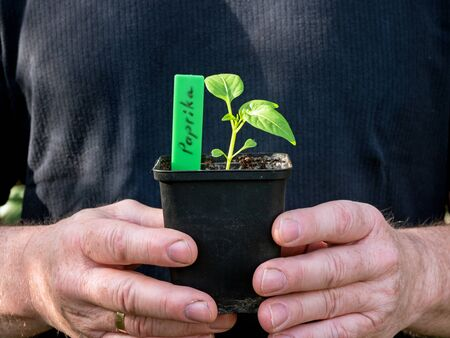 Two masculine hands are holding a pot with a pepper plant
