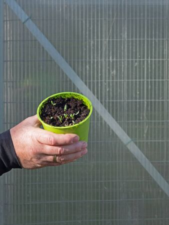 One masculine hand is holding a pot with seedlings, wall of a greenhouse in the background