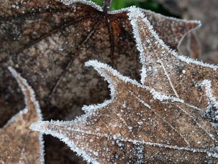 Abstract pattern of frozen mable leaves