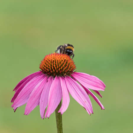 Close-up of a bumblebee on the blossom of a coneflower