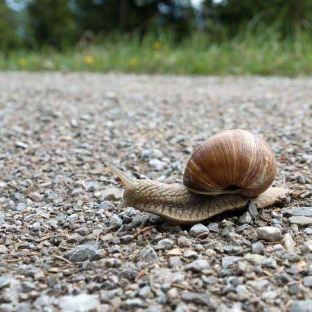 Close-up of an edible snail, helix pomatia