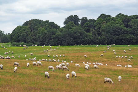 Flock of sheep on a pasture at Mecklenburg-Western Pomerania