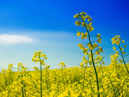 Rapeseed field with close-up of single inflorescences