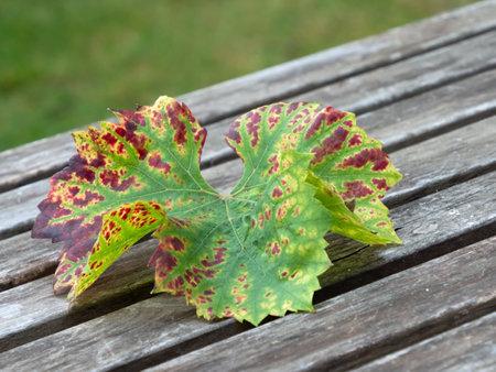 Close-up of a vine leaf in autumnal coloring on wood Standard-Bild