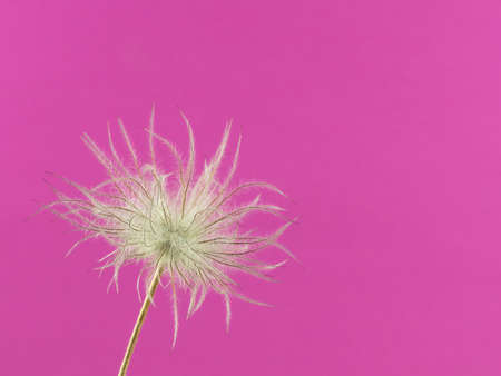 Close-up of the faded flower head of one pasqueflower isolated on pink Standard-Bild