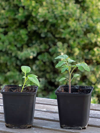 Two pots with seedlings on a wooden table isolated on green background Standard-Bild