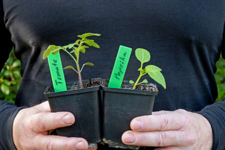 Two masculine hands are holding a pot with a tomato plant and a pot with a pepper plant