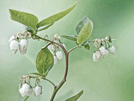 close-up of the white flowers of a blueberry bush
