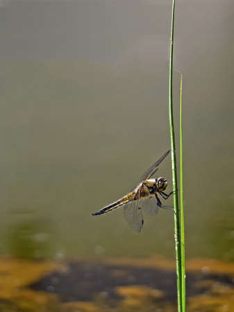 Close-up of a four-spotted chaser (Libellula quadrimaculata) Standard-Bild