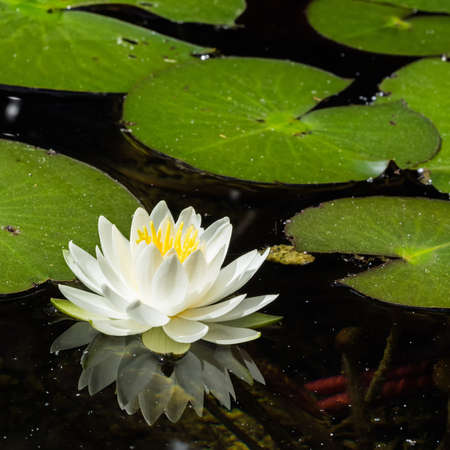 Close-up of the white blossom of a water lily Standard-Bild