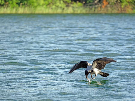 Hooded crow (Corvus corone) with a fish in its beak
