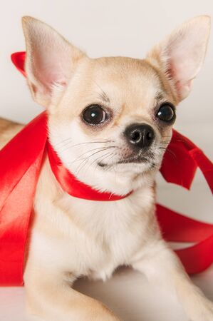 Lovely little Chihuahua puppy as a gift Stock Photo
