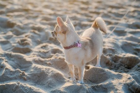 Little cute Chihuahua puppy on the beach by the sea. Sunset on the sea.