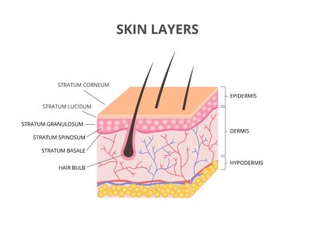Skin layers: Epidermis, Dermis, Hypodermis isometric vector illustration Illustration