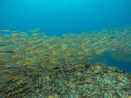 school fish in andaman ocean