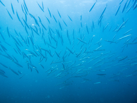 schooling barracuda fish with wrecked ship in gulf of Thailand